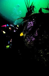 Diver & jewel anemones