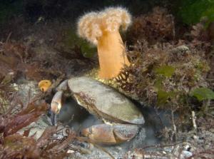 Edible crab, plumose anemone