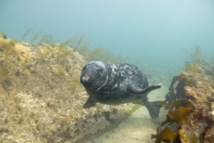 Grey seal, in thongweed gully