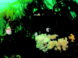 Kelp forest & animals